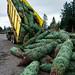 Oregon Christmas trees prepared for shipment