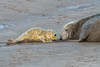 Meeting Mum (DanRansley) Tags: britain danransleyphotography danransleynet donnanook england halichoerusgrypus lincolnshire uk animal baby beach coast cute greyseal mammal mother nature newborn pinniped pup seal sealpup wildlife