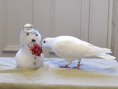 9.  How to build a snowman by Grace pigeon.  Sraighten the bow... (the.haggishunter) Tags: white dove pigeon snow snowman cold winter christmas