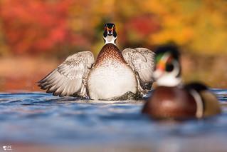 ''Je suis la moi aussi!'' Canard branchu-Wood duck