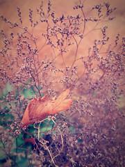 Autumn leaf (STEHOUWER AND RECIO) Tags: autumn leaf plant plants bokeh flora hue hues floral flower flowers closeup 秋季 herfst 秋 taglagas dahon 叶 葉 nederland netherlands holland dutch soft tones photo photography capture image