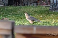 Cooper's Hawk stalking backyard chickens