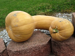 Long Neck Pumpkin. (dccradio) Tags: cavetown smithsburg md maryland produce producestand ag agricultural farm farming agriculture fall autumn harvest brick bricks brickwall longneck pumpkins squash grass lawn yardgreenery outside outdoors orchard mountainvalleyorchard canon powershot a3400is