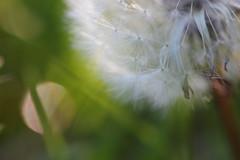pissenlit en lumière (Kaïyah) Tags: fleur graines printemps macro flare light flower seeds spring