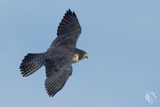 Peregrine Falcons of Alpine | 2107 - 15