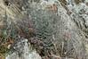 Pellaea mucronata (California Cliffbrake, Bird's Foot Fern) (birdgal5) Tags: nikon d100 105mmf28dmicro pellaeamucronata pellaea californiacliffbrake birdsfootfern pteridaceae fern inaturalistorg