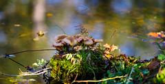 Les Champis pêcheurs (Alexandre LAVIGNE) Tags: louisengival pentaxk1 smcpentaxda300mm14sdm champignons ambiance automne couleurs eau k1 mousse nature saintquentin picardiehautsdefrance