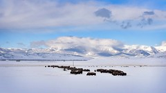 _CAW2534web (IntoTheLittleBelts) Tags: buffalo clouds mountain montana crazy snow winter sky mt