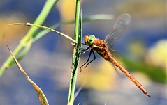 Delicate landing. (pstone646) Tags: dragonfly insect nature wildlife animal fauna stodmarsh kent bokeh ngc