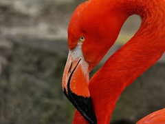 Flamingo (libra1054) Tags: flamingo fenicottero flamant flamenco avesacuaticas uccelliacquatici oiseauxaquatiques waterbirds wasservögel red rosso rojo rouge vermelho rot portrait