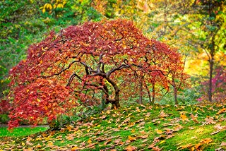 Autumn Maple Japanese Garden 4718 B