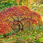 Autumn Maple Japanese Garden 4718 B thumbnail