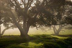 Magic light (Thibaud Chanfray) Tags: light auckland newzealand forest enchanted enchantée sun nature park parc onehunga tree fog brume landscape paysages