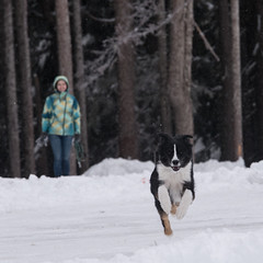 Maru_snow05 (izpavlovich) Tags: maru aussie australianshepherd stevens pass snow dog