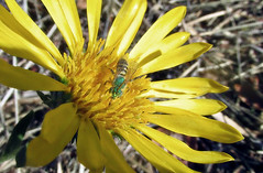 Agapostemon ♂ on Grindelia (TJ Gehling) Tags: insect hymenoptera bee halictidae sweatbee metallicgreensweatbee agapostemon planr flower asterales asteraceae grindelia canyontrailpark elcerrito