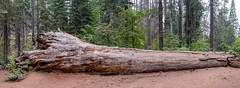 Downed Sequoia (Heavyweight87) Tags: 2017 california usa yosemite sequoia nationalpark