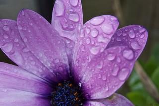 6023 Rain drops on an Osteospermum flower.