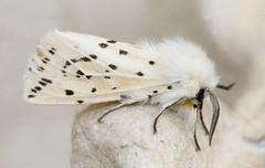 Spilosoma lubricipeda (White ermine)