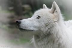 Naaja Aschewolf - Princess of the white wolves (babsbaron) Tags: nature tiere animals wolf wolves wölfe wölfin polarwolf whitewolf wildpark lüneburg lüneburgerheide