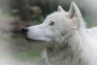 Naaja Aschewolf - Princess of the white wolves