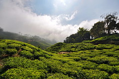 India - Kerala - Munnar - Tea Plantagen - 211 (asienman) Tags: india kerala munnar teaplantagen asienmanphotography