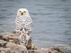 Snowy Owl (Bubo scandiacus) (ChristineDarnell) Tags: bird snowyowlbuboscandiacus owl raptor christinedarnell canon canoneos7dmarkii michigan
