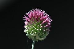 Delizioso (lincerosso) Tags: agliodellebisce alliumsphaerocephalon liliaceae fiori flowers piantedellitoralealtoadriatico estate bellezza armonia