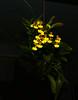 Oncidium flexuosum species orchid (nolehace) Tags: oncidium flexuosum species orchid 1017 sanfrancisco fz1000 nolehace