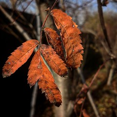 2017-11-21_04-24-30 (oksanadzinkovskay) Tags: autumn nature colors photo red novem russian