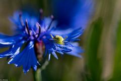 nature et insecte (GL Showa) Tags: nature insecte fleurs champ