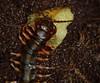 Scolopendra hainanum Eating Kiwi (LawnShrimp) Tags: fruit feeding hainanum scolopendrahainanum scolopendra scolopendrinae scolopendridae scolopendromorpha chilopoda centipede myriapoda myriapod invertebrate venom venomous pet color macro meal food