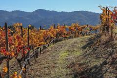Autumn Vines at Ridge Winery, Cupertino, California (davidcmc58) Tags: cupertino california autumn foliage vine winery santaclaracounty