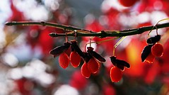 Snow Berries (SkyeHar) Tags: rojo berry snow bokeh nature naturaleza tree sonya6300 sel50f18s light dof detail red colorful