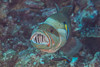 Masked Grouper (maractwin) Tags: gracilaalbomarginata labroidesdimidiatus bluestreakcleanerwrasse cleaning fiji gau junglejig maskedgrouper naia scuba