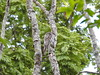 MÃE-DA-LUA - Nyctibius griseus (sileneandrade10) Tags: nyctibiidae commonpotoo nyctibiusgriseus flickr explore nikon natureza nature sileneandrade urutau pássaro pássarosdobrasil passarolivre hábitos noturno cerrado mataatlântica pantanal parque predador mimetismo camuflagem bird avederapina árvore madeira campo birds fauna freebirds mãedalua coruja owl rapina amazônia