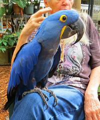 Key West (Florida) Trip 2016 2726Ri 5x6 (edgarandron - Busy!) Tags: florida keys floridakeys keywest bird birds macaw macaws nancyforrester nancyforresterssecretgarden secretgarden
