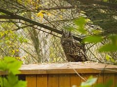 bagoly (Dreamaxjoe) Tags: animal zoo owl tree