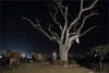night, pushkar (nevil zaveri (thank you for 15 million+ views)) Tags: zaveri india pushkar rajasthan cattle fair cow animals photography photographer images photos blog stockimages photograph photographs nevil nevilzaveri stock photo people desert camel khejari trees