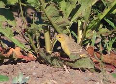 Orange Chat (Epthianura aurifrons) (Heleioporus) Tags: orange chat epthianura aurifrons kiama downs new south wales