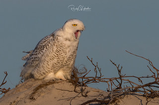 Snowy Owls of New Jersey | 2017 - 10