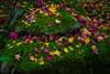0S4A5029-P (ImagesSansWords) Tags: canon5dmarkiv damoophotography kyoto japan autumn autumnfoliage fallfoliage fallcolors colors nature mapleleaves fourseasons mapleleavesinfall autumncolorskyoto autumncolors