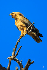 Shooting eagle (patrickburtin) Tags: