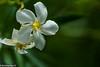 white oleander (nerium indicum) (Krishna Rao D) Tags: oleander white nerium indicum flower flora garden nature
