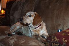 Amber_0021 (smack53) Tags: smack53 amber dog pet allgodscreatures animal nikon d100 nikond100