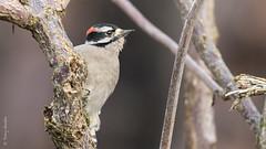 Downy Woodpecker (Picoides pubescens) (Tony Varela Photography) Tags: dowo downywoodpecker photographertonyvarela picoidespubescens woodpecker canon