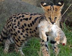 serval blijdorp BB2A8507 (j.a.kok) Tags: serval cat kat leptailurusserval servalcat blijdorp animal mammal zoogdier dier africa afrika