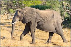African Bush Elephant (John R Chandler) Tags: africanbushelephant africanelephant animal elephant hwangenationalpark loxodontaafricana mammal matabelelandnorthprovince zimbabwe zw