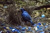 Guess This Birds Favourite Colour (Geoffsnaps) Tags: satinbowerbird bower bird feathers ilovebirds ilovenature birds animals nature beautiful beautyofnature birdsarebeautiful superbbirds nikond810 nikon d810 fx nikonnikkor200500mmf56eedafs nikkor 200500mm f56e e ed afs acratechpanoramichead acratech panoramic head gitzogm5541carbonmonopod gitzo gm5541 carbon monopod lamingtonnationalpark queensland australia oreillys resort greenmountain rainforest blue colours favorite satin twigs sticks male courting