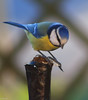 Enfin, j'ai réussi à le tordre... (Crilion43) Tags: centre région véreaux poteau oiseaux divers animaux mésanges villes