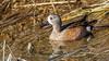 Blue-winged Teal (Bob Gunderson) Tags: alamedacounty anasdiscors arrowheadmarsh birds bluewingedteal california dabblingducks ducks eastbay northerncalifornia teal
